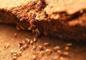 Termite Removal Cambridge