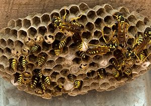 Wasps Nest Removal Cambridge