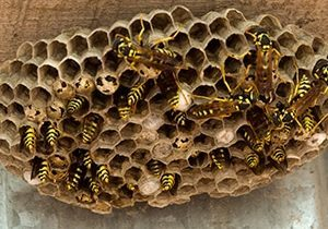 wasps nest removal guelph
